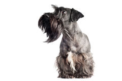 Cesky terrier dog portrait Royalty Free Stock Photography