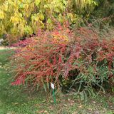 Cespugli al giardino botanico Horizontalis di Cotoneaster variopinti Immagine Stock Libera da Diritti