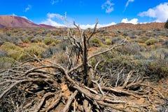 Cespugli appassiti del ginestrone su un giacimento di lava alla parte anteriore sul vulcano nel parco nazionale di Teide, Tenerif fotografia stock