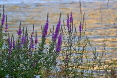 Cespugli con i piccoli fiori lilla sulla sponda del fiume Fotografia Stock