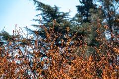 Cespugli con le foglie rosse e ragnatele fra i rami fotografia stock