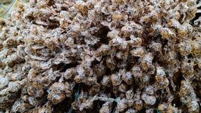 Cespugli coperti di ghiaccio del fiore Immagini Stock