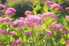 Cespugli dei fiori rosa che sbocciano in pianta sunlight Sfondo naturale Bokeh Immagine Stock
