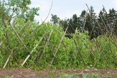 Cespugli dei piselli dolci verdi riparati con i bastoni di legno Immagini Stock