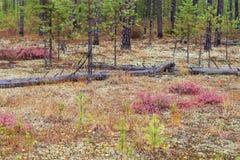 Cespugli del mirtillo di palude contro lo sfondo dell'autunno immagine stock libera da diritti