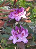 Cespugli del rododendro con i vari fiori colorati Fotografie Stock Libere da Diritti