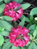 Cespugli del rododendro con i vari fiori colorati Fotografia Stock