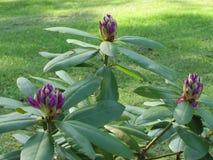 Cespugli del rododendro con i vari fiori colorati Immagini Stock