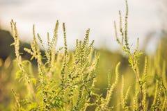 Cespugli dell'ambrosia allergica al tramonto Immagini Stock Libere da Diritti