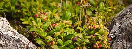 Cespugli dell'uva di monte Fotografia Stock Libera da Diritti