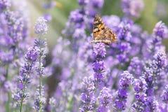 Cespugli della lavanda con la farfalla fotografia stock