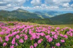 Cespugli di fioritura del rododendro nelle montagne Immagini Stock