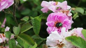 Cespugli di fioritura delle rose rosa su cui si siede sul grande scarabeo verde stock footage