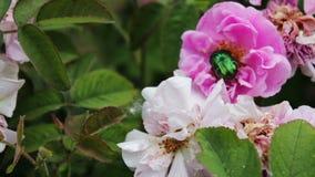 Cespugli di fioritura delle rose rosa su cui si siede sul grande scarabeo verde video d archivio