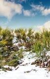 Cespugli di inverno Fotografia Stock