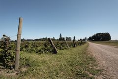Cespugli di mora lungo un vicolo dell'azienda agricola Immagini Stock Libere da Diritti