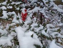 Cespugli di rosa canina con le bacche rosse coperte di neve fotografia stock libera da diritti