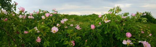 Cespugli di rosa canina selvaggi rosa di fioritura Immagine Stock