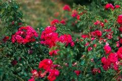 Cespugli di rose rosse molte piccole rose rosse sui cespugli Immagini Stock Libere da Diritti