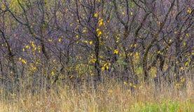 Cespugli pittoreschi con le foglie di autunno gialle Immagini Stock Libere da Diritti
