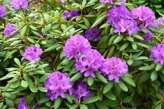 Cespugli porpora del rododendro fotografia stock libera da diritti