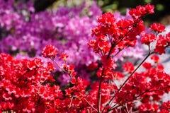 Cespugli rossi e porpora che fioriscono un giorno di molla soleggiato fotografie stock