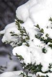Cespugli sempreverdi del giardino sotto la neve Inverno immagini stock
