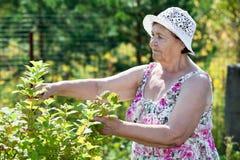 Cespugli senior della potatura della donna con pruner in giardino Immagini Stock Libere da Diritti