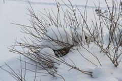 Cespugli sotto la neve fotografia stock