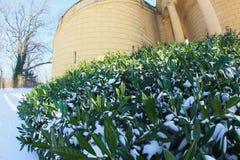 Cespugli verdi nella neve Immagini Stock