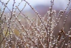 Cespugli Willow Blossom Immagini Stock Libere da Diritti