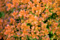 Cespuglio arancio luminoso Fotografia Stock Libera da Diritti