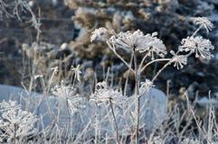 Cespuglio bianco congelato Immagini Stock Libere da Diritti