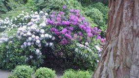 cespuglio bianco viola del rododendro Rododendro porpora del fiore Il movimento della macchina fotografica permette di vedere il  stock footage