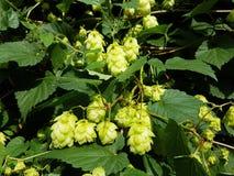 Cespuglio crescente del luppolo verde nei raggi di luce solare con i cono-frutti per produrre birra Materie prime per la fabbrica immagini stock libere da diritti