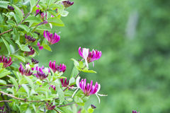 Cespuglio del caprifoglio con i fiori. Immagine Stock Libera da Diritti