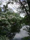 Cespuglio del cratego in primavera fotografie stock