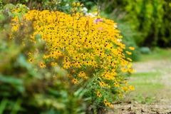 Cespuglio del fiore di rudbeckia fotografia stock