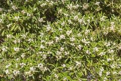 Cespuglio del mirto e fiori bianchi Fotografia Stock Libera da Diritti
