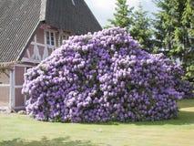 Cespuglio del rododendro in piena fioritura fotografie stock libere da diritti