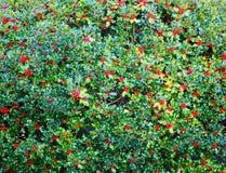 Cespuglio dell'agrifoglio con le bacche rosse Fotografia Stock