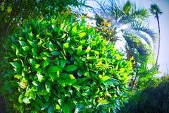 Cespuglio dell'alloro sulla costa sud del fish-eye un sole luminoso di estate Verde Immagine Stock