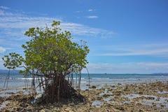 Cespuglio della mangrovia sulla spiaggia Fotografia Stock
