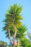 Cespuglio della palma Immagine Stock