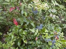 Cespuglio di aquifolium di Mahonia Fotografia Stock Libera da Diritti