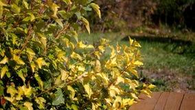 Cespuglio di autunno con le foglie gialle stock footage