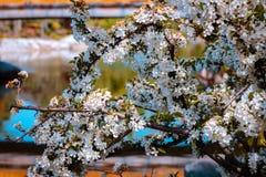 Cespuglio di fioritura con i fiori bianchi davanti allo stagno ad un giardino giapponese un giorno di molla soleggiato a Grand Ra immagini stock libere da diritti