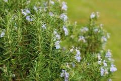 Cespuglio di fioritura del fiore dei rosmarini nel giardino immagine stock
