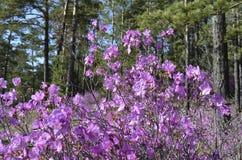 Cespuglio di fioritura del rododendro di immagine Fotografia Stock Libera da Diritti
