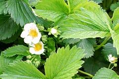 Cespuglio di fioritura della fragola Fotografie Stock Libere da Diritti